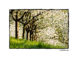 photo Spring orchard in Prague