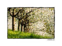 fotografie Spring orchard in Prague